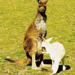 gwp.kangaroo