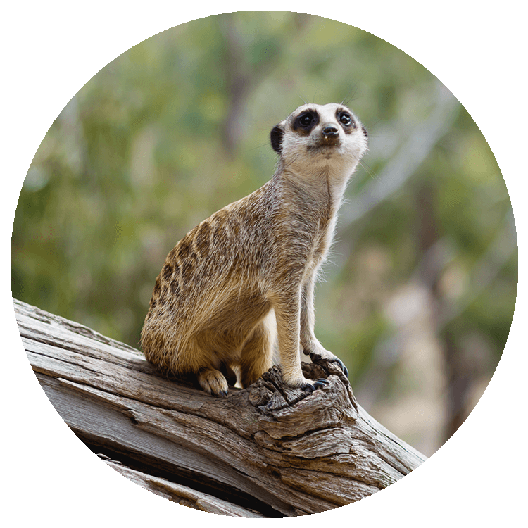 A meerkat sits upon a log