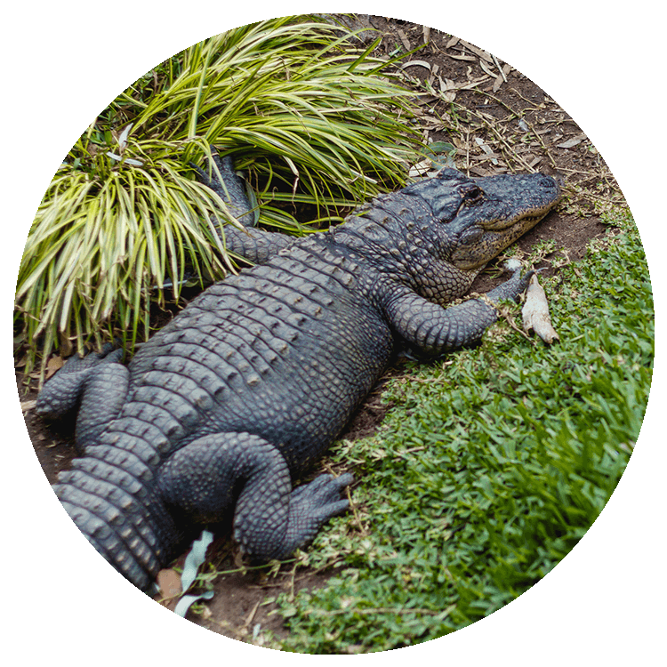 an american alligator lies on grass surrounded by ferns
