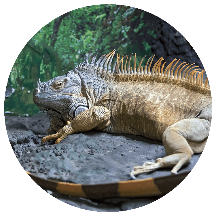 an orange iguana sits on a rock