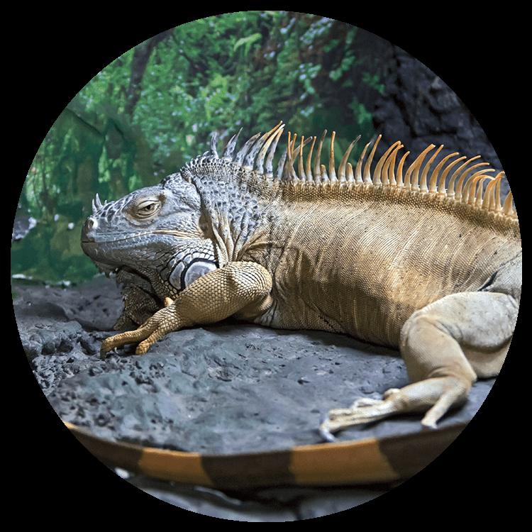an orange iguana sits on a rock