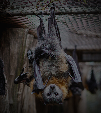 Gorge-Wildlife-Park-Adelaide-Hills-Zoo-South-Australia-Fruit-Bat
